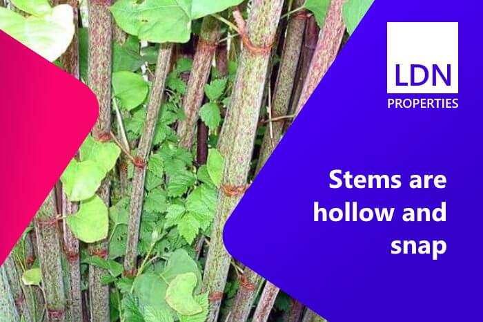 Japanese knotweed hollow stems visible through back yard of house that someone wants to sell