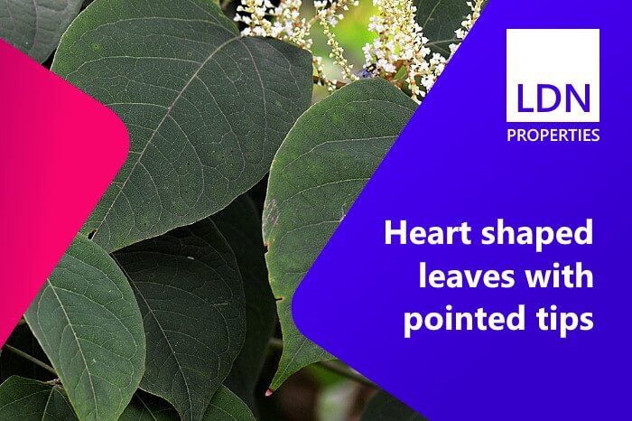 Leaves visible in garden of house selling with Japanese knotweed