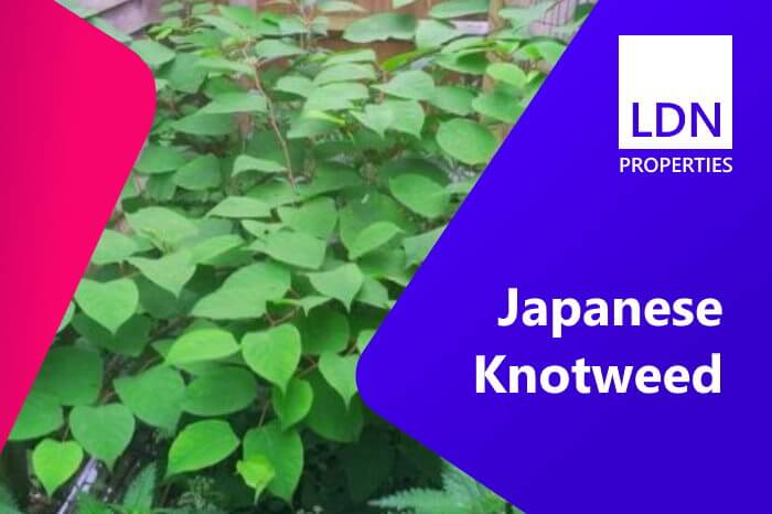 Houses with Japanese knotweed in the garden are problem properties